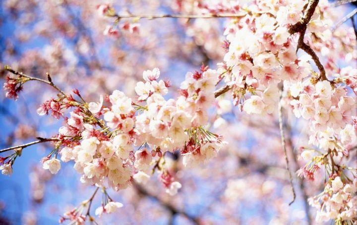 Апрельское цветение деревьев