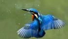 Зимородок обыкновенный