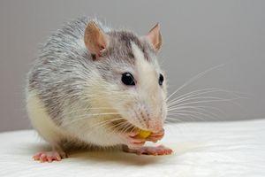 Гороскоп для мужчины-Крысы на 2021 год