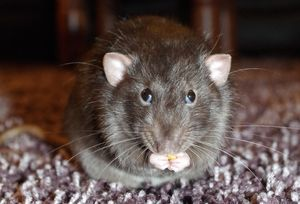 Гороскоп здоровья для Крыс на 2021 год