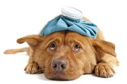 Гороскоп здоровья для Собак на 2021 год