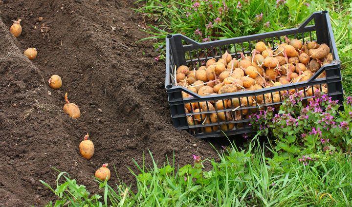 Посадка картофеля весной