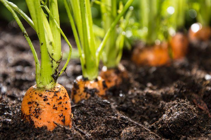 Посадка моркови в землю