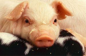Гороскоп карьеры на 2021 год для Свиньи