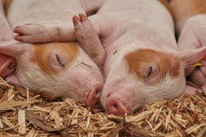 Любовный прогноз на 2021 год для Свиньи