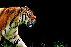 Гороскоп на 2021 год для тигра