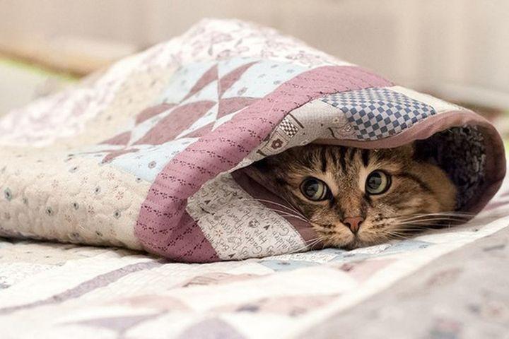 Кот в одеялах